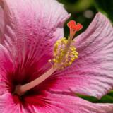 IMG_7736 Hibiscus - Bermuda Botanical Gardens - © A Santillo 2018