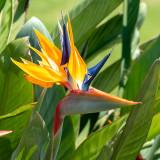 IMG_7739 Bird-of-Paradise - Strelitzia reginae - Strlitziaceae - Bermuda Botanical Gardens - © A Santillo 2018