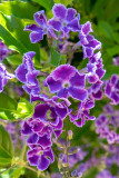 IMG_7745 Unknown flower - Bermuda Botanical Gardens - © A Santillo 2018