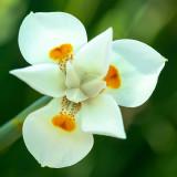 IMG_7746 Unknown flower - Bermuda Botanical Gardens - © A Santillo 2018