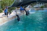 IMG_7758 Feeding the seals - Bermuda Aquarium, Museum and Zoo - © A Santillo 2018