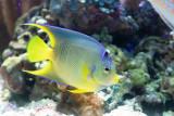 IMG_7815 Queen Angel Fish - Bermuda Aqaurium, Museum and Zoo - © A Santillo 2018