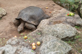 IMG_7824 Galapagos Tortoise - Geochelone nigra - Bermuda Aqaurium, Museum and Zoo - © A Santillo 2018