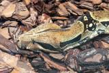 IMG_7828 Boa Constrictor - Bermuda Aqaurium, Museum and Zoo - © A Santillo 2018