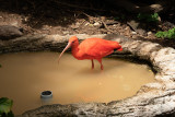 IMG_7833 Scarlet Ibis - Eudocimus ruber - Bermuda Aquarium, Museum and Zoo - © A Santillo 2018