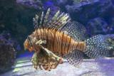 IMG_7835 Lionfish - Bermuda Aqaurium, Museum and Zoo - © A Santillo 2018