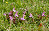 IMG_8892.CR3 Pedicularis sylvatica - Common Lousewort - Minions - © A Santillo 2020
