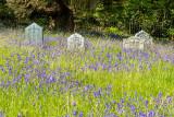 IMG_7337.CR2 Bluebells in St Hydrock Church yard gravestones - © A Santillo 2017