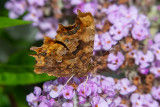 IMG_8912 Comma butterfly - © A Santillo 2020