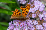 IMG_8913 Comma butterfly - © A Santillo 2020