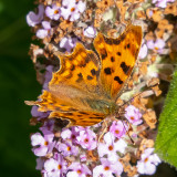 IMG_8914 Comma butterfly - © A Santillo 2020