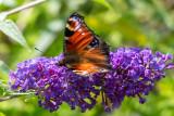 IMG_8919 Peacock butterfly - © A Santillo 2020