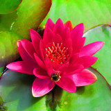 IMG_8908 Water lily - Cotehele House - © A Santillo 2020