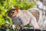 _MG_8355.jpg Squirrel - © A Santillo 2006
