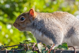 _MG_8353.jpg Squirrel - © A Santillo 2006