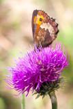 _MG_0677-Edit.tif Scotch Argus butterfly - © A Santillo 2006