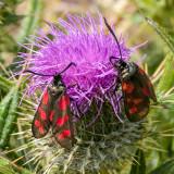 CRW_01505.CRW Six-spot Burnet moth - © A Santillo 2004