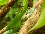 G10_1109.CR2 Mission Golden-eyed Tree Frog (Trachycephalus resinifictrix) - © A Santillo 2011