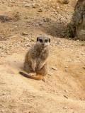 G10_1120.CR2 Slender-tailed Meerkat (Suricatta suricatta) - © A Santillo 2011