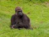 G10_1127.CR2 Gorilla (Gorilla Gorilla) - © A Santillo 2011