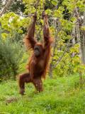 G10_1142.CR2 Sumatran Orangutan (Pongo abelii) - © A Santillo 2011