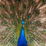 G10_1258.jpg Peacock at Paignton Zoo - © A Santillo 2012