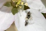 IMG_2643.jpg Spider and apple tree blossom - © A Santillo 2010