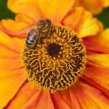 IMG_3610a.jpg Echinacea and Bee - © A Santillo 2011