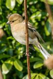 IMG_6916.CR2 Sparrow - © A Santillo 2016