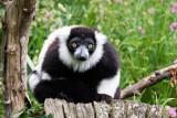IMG_7059.CR2 Black and White Ruffed Lemur - © A Santillo 2016