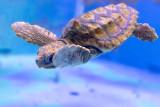 IMG_7813.CR2 This is Sheldon a juvenile Loggerhead Turtle - © A Santillo 2018