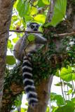 IMG_7834.CR2 Ring-tailed Lemur - © A Santillo 2018