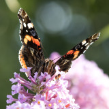 IMG_7485.jpg Red Admiral butterfly drinking nectar - © A Santillo 2017