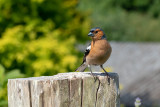 IMG_7950 Common Chaffinch - © A Santillo 2018