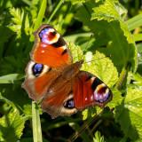 IMG_8594.jpg Peacock butterfly - © A Santillo 2020