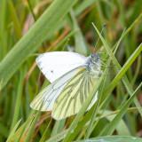 IMG_8749.jpg Female Green-veined White butterfly - © A Santillo 2020