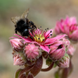 IMG_8857.jpg A bee photobombing my photo of a Sempervivium - © A Santillo 2020