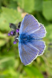 IMG_6201.CR2 Adonis Blue Butterfly - © A Santillo 2014