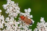 IMG_8954.CR2  Black-tipped soldier beetle C Rhagonycha fulva – (family Cantharidae) - on Cow Parsley - © A Santillo 2020