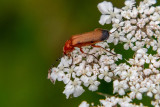 IMG_8956.CR2 Black-tipped soldier beetle Rhagonycha fulva – (family Cantharidae) on Cow Parsley - © A Santillo 2020