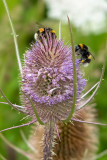 IMG_8958.CR2 Bees on Teasel - Dipsacus Caprifoliaceae - © A Santillo 2020