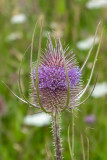 IMG_8959_CR2 Teasel - Dipsacus Caprifoliaceae - Saltash - © A Santillo 2020