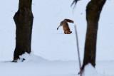 Rehwild und Füchse im Schweizer Jura