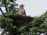 Havørn(Eagle) Sdr Hostrup,Aabenra -10 ,23 juni 2020