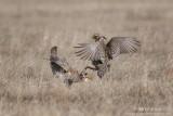 grouse__prairie_chickens