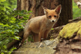 Vos - Red fox