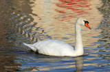 Knobbelzwaan - Mute Swan