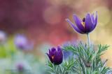 Wildemanskruid - Pasque flower