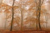 Beech forest - Beukenbos