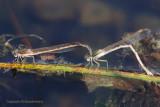 Bruine winterjuffer - Common winter damselfly